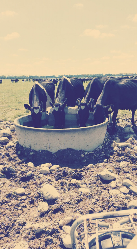 cows drinking from water trough in new zealand