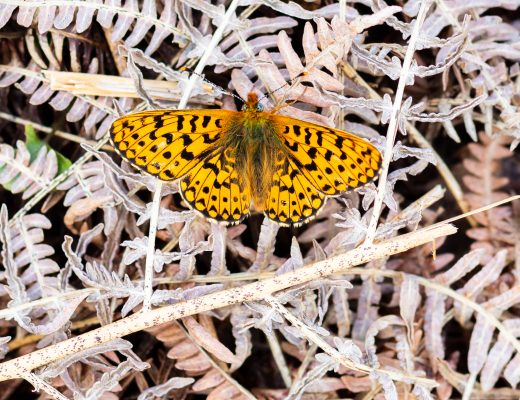 pearl bordered fritillary butterfly moth