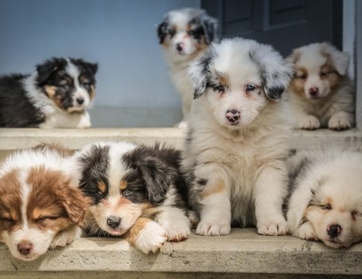 cute collie puppies