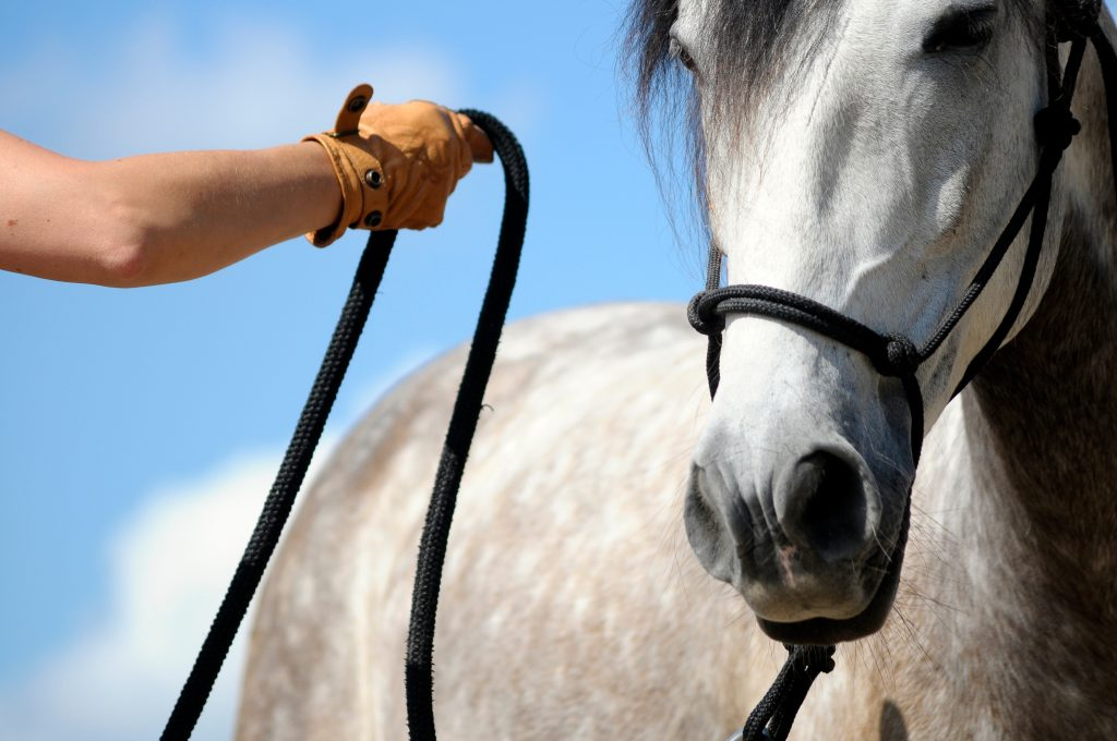 woman working with beautiful young spanish horse
