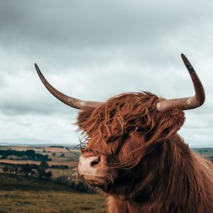 highland cattle luke flower flow visuals photography